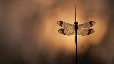 Dragonfly Photograph - Here Comes The Sun by Daan De Vos