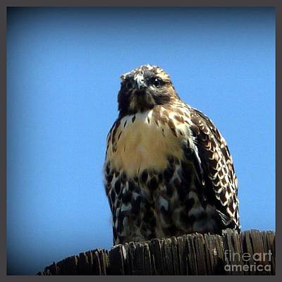 Photograph - Here I Am Falcon by Susan Garren