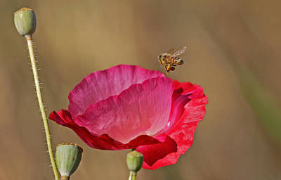 Honeybee Photograph - Here I Come by Gary Wing