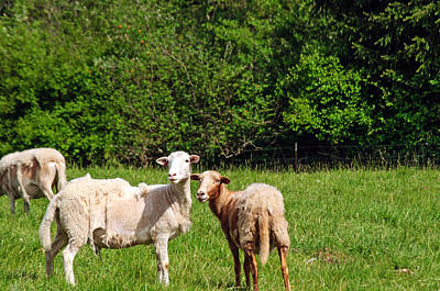 Photograph - Here Is Looking At Ewe by Tikvah's Hope