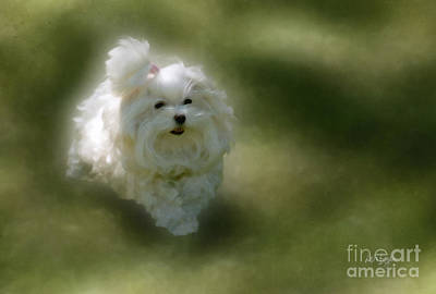 Maltese Dog Photograph - Here She Comes by Lois Bryan