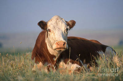 Photograph - Hereford Cow by Alan and Sandy Carey