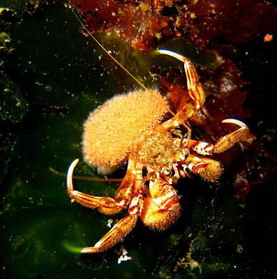 Hermit Crab Art Print by April Muilenburg