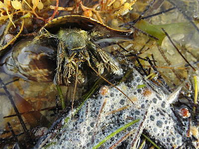 Photograph - Hermit Crab by Susan Sidorski