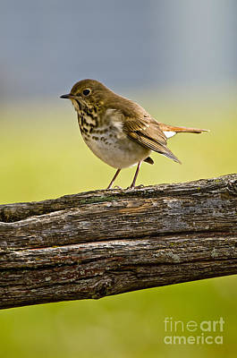State Love Nancy Ingersoll - Hermit Thrush Pictures 25 by World Wildlife Photography