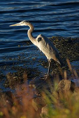 New England Photograph - Heron 12 by Allan Morrison