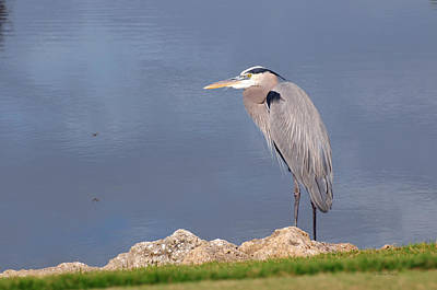 Heron And Pond Art Print by Kenny Francis