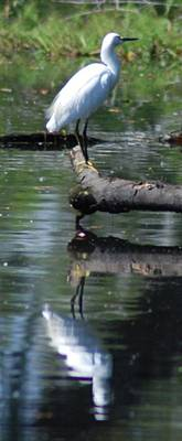Photograph - Heron And Reflection by Lawrence Pratt