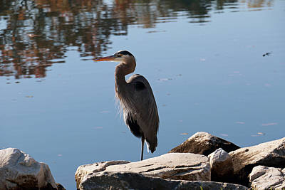 Photograph - Heron And Reflections by Mary Haber