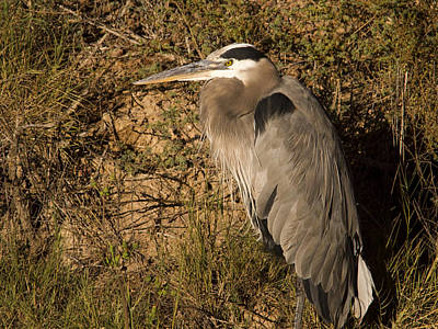 Photograph - Heron Basking In The Morning Sun by Jean Noren