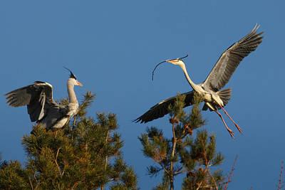 Heron Brings Twigs For The Nest Art Print by Izzy Standbridge