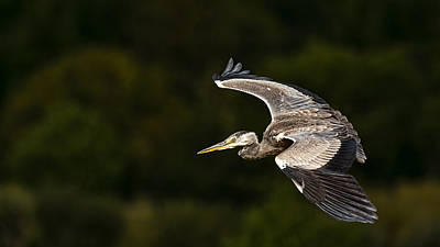 Heron Coming In To Land Art Print