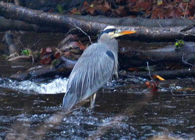Heron Fishing Art Print by Jeri lyn Chevalier