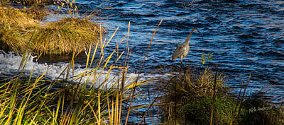 Photograph - Heron Fishing by Mick Anderson