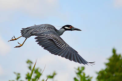 Florida Wildlife Photograph - Heron Flight by Laura Fasulo