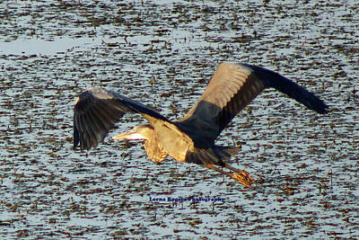 Photograph - Heron Flight With Signature by Lorna R Mills DBA  Lorna Rogers Photography