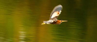 Photograph - Heron Flite by Alistair Lyne