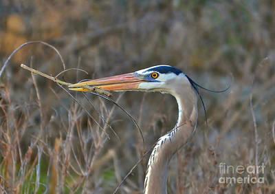Photograph - Heron Gathering Sticks To Nest by Kathy Baccari