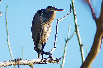 Photograph - Heron Hanging Out by Joe Faherty