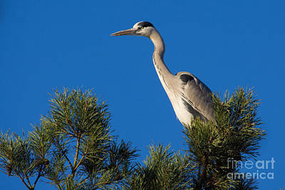 Photograph - Heron High Up In A Pine Tree by Nick  Biemans