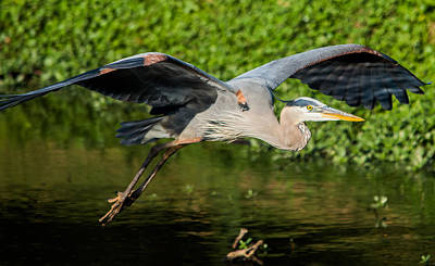 Rare Bird Photograph - Heron In Flight by Parker Cunningham