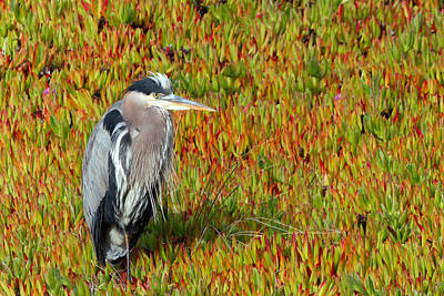 Photograph - Heron In Ice Plant At Bodega Bay by Kathleen Bishop