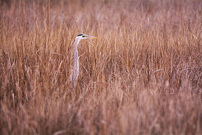 Heron In The Grass Art Print by Andy Smetzer