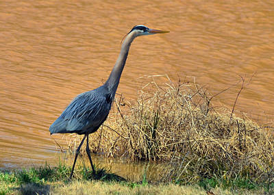 Heron In The Rough - 51010656e Art Print