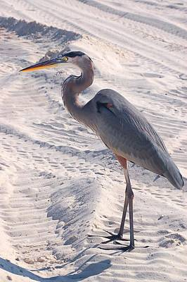 Photograph - Heron In The Sand - Verticle by Michael Thomas