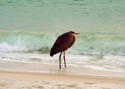 Photograph - Heron In The Surf by Cindy Croal