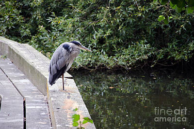 Photograph - Heron Of Buckingham by Laurel Best