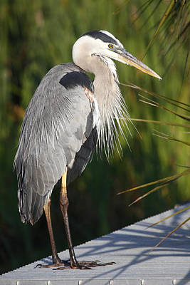 Photograph - Heron On Dock by Dorothy Cunningham