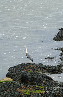 Photograph - Heron On Sea Watch by Phil Banks