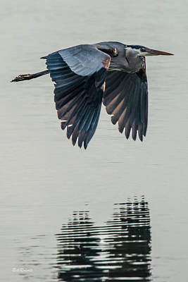 In Flight Photograph - Heron On The Wing by Bill Roberts
