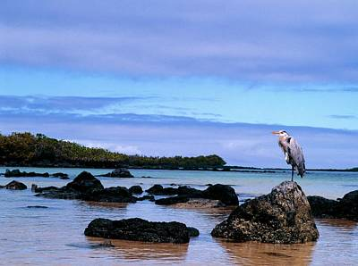 Galapagos Photograph - Heron Perched On Rocks by Dr Morley Read/science Photo Library