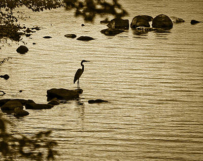 Photograph - Heron by Phil Cardamone