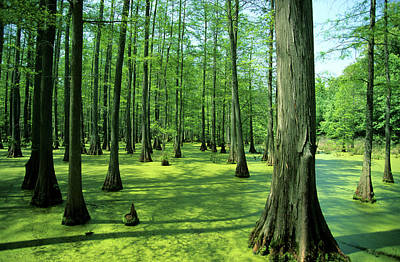 Heron Pond Bald Cypress Trees In Little Art Print