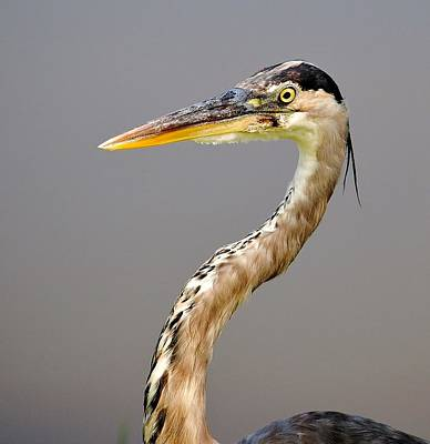 Photograph - Heron Portrait by John Hintz