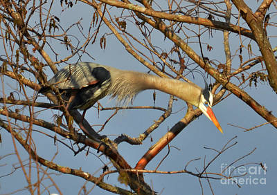 Photograph - Heron Stretching It's Neck by Kathy Baccari