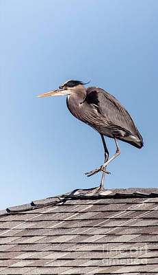 Blue Roof Photograph - Heron Up On The Roof by Robert Frederick