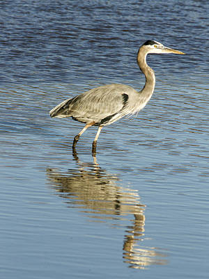 Photograph - Heron Walking Through The Water. by Jean Noren
