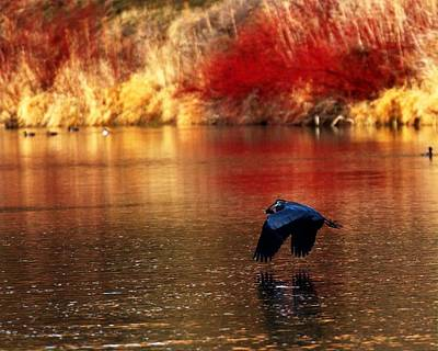 Photograph - Heron With Fish by Coby Cooper