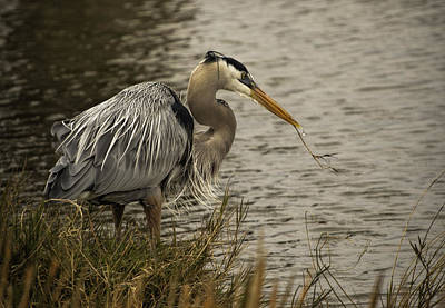 Photograph - Heron With Twig by Dorothy Cunningham