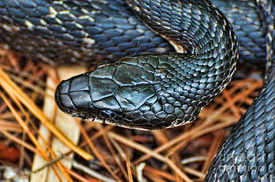 Snake Head Photograph - Herpetology - The Snake  by Paul Ward