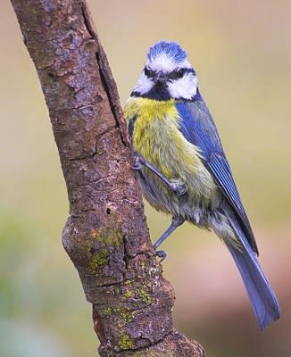 Blue Tit Photograph - Herrerillo Blue Tit by Guido Montanes Castillo