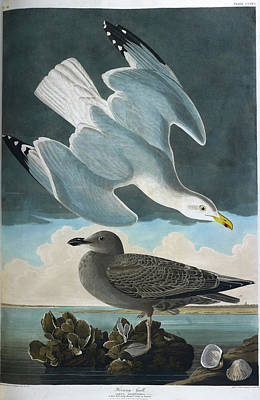 Categories Photograph - Herring Gull by British Library