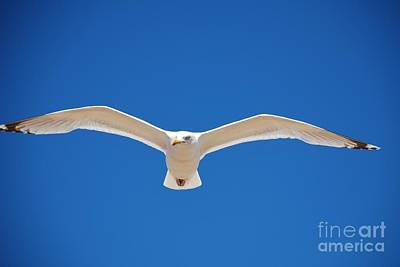 Photograph - Herring Gull In Flight by David Fowler