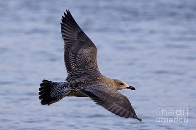 Photograph - Herring Gull In Flight Photo by Meg Rousher