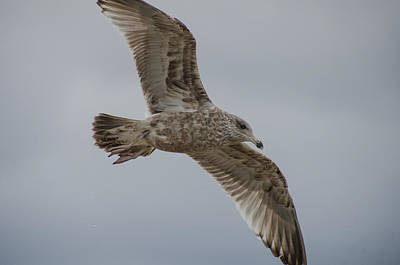 Photograph - Herring Gull In Winter by Beth Sawickie
