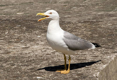 Catherine Photograph - Herring Gull by Nigel Downer